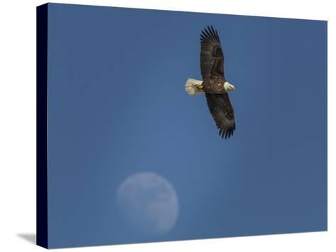 Eagle and Moon-Galloimages Online-Stretched Canvas Print