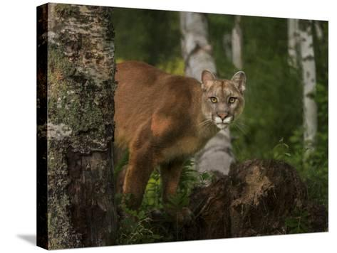 Inquistive Mountain Lion-Galloimages Online-Stretched Canvas Print