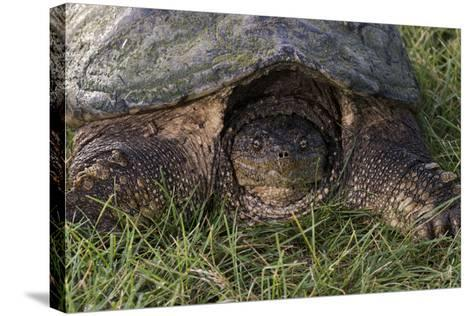 Snapping Turtle-Gordon Semmens-Stretched Canvas Print