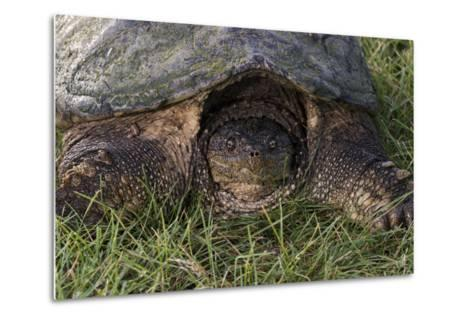Snapping Turtle-Gordon Semmens-Metal Print