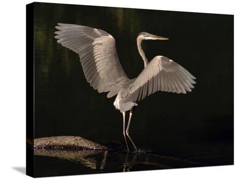 Big Bird-J.D. Mcfarlan-Stretched Canvas Print