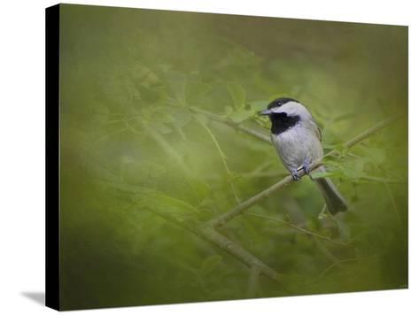 Spring Chickadee-Jai Johnson-Stretched Canvas Print