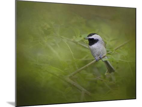 Spring Chickadee-Jai Johnson-Mounted Giclee Print