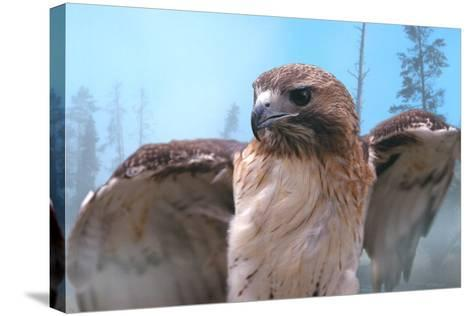 Skies of Yellowstone - Redtail Hawk-Gordon Semmens-Stretched Canvas Print