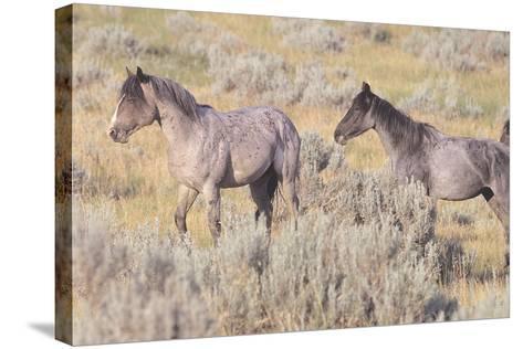 Wild Horses 10-Gordon Semmens-Stretched Canvas Print