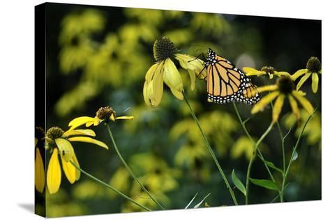Monarch 2-Gordon Semmens-Stretched Canvas Print