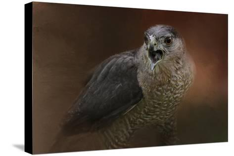 Angry Sharp Shinned Hawk-Jai Johnson-Stretched Canvas Print