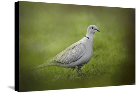 Spring Dove-Jai Johnson-Stretched Canvas Print
