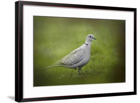 Spring Dove-Jai Johnson-Framed Art Print