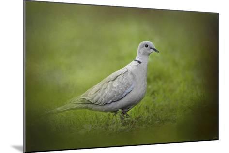 Spring Dove-Jai Johnson-Mounted Giclee Print
