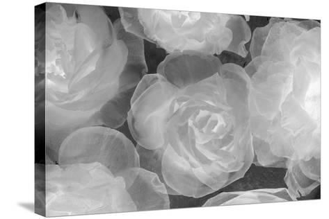 Rosas Blancas-Moises Levy-Stretched Canvas Print