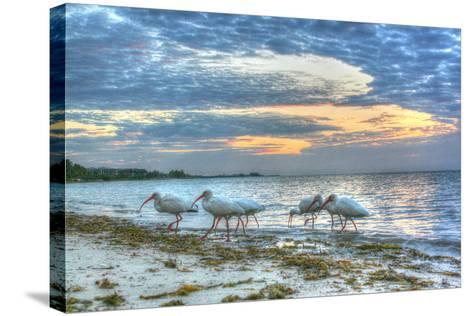 Ibis at Sunrise-Robert Goldwitz-Stretched Canvas Print