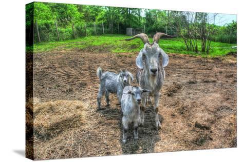 Goats-Robert Goldwitz-Stretched Canvas Print