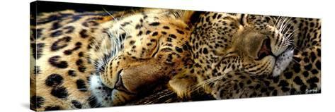 Two Sleepers Cheetahs-Murray Henderson-Stretched Canvas Print