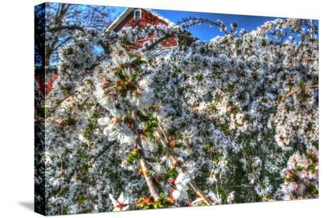 Cherry Blossom Barn-Robert Goldwitz-Stretched Canvas Print