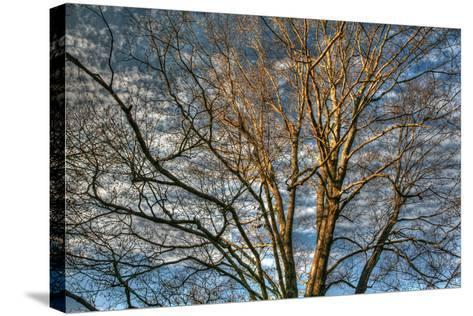 Bare Branches 3-Robert Goldwitz-Stretched Canvas Print