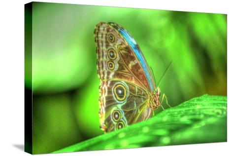Butterfly 9-Robert Goldwitz-Stretched Canvas Print