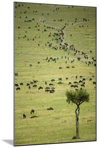 Kenya, Masai Mara, Thousands of Wildebeest Preparing of the Migration-Anthony Asael-Mounted Photographic Print