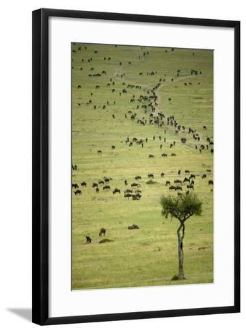 Kenya, Masai Mara, Thousands of Wildebeest Preparing of the Migration-Anthony Asael-Framed Art Print