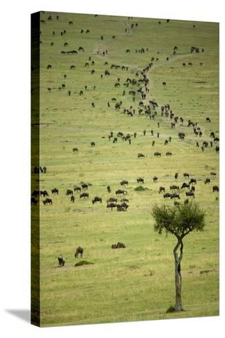 Kenya, Masai Mara, Thousands of Wildebeest Preparing of the Migration-Anthony Asael-Stretched Canvas Print