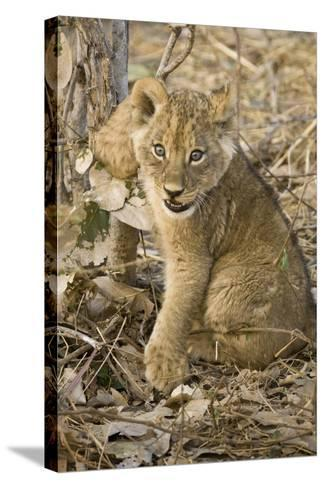 Okavango Delta, Botswana. Close-up of Lion Cub with Paw Stuck in Twigs-Janet Muir-Stretched Canvas Print