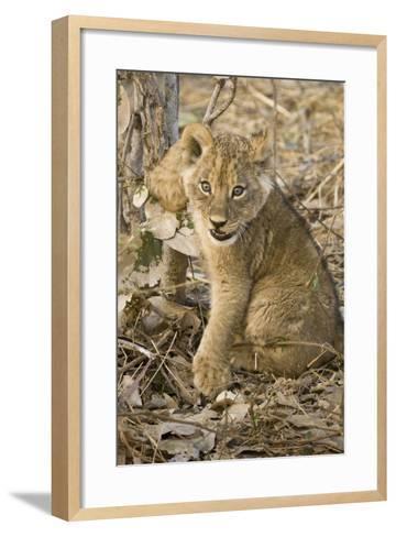 Okavango Delta, Botswana. Close-up of Lion Cub with Paw Stuck in Twigs-Janet Muir-Framed Art Print