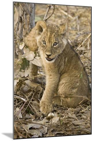 Okavango Delta, Botswana. Close-up of Lion Cub with Paw Stuck in Twigs-Janet Muir-Mounted Photographic Print