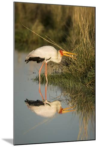 Botswana, Moremi Game Reserve, Yellow Billed Stork Captures Small Frog-Paul Souders-Mounted Photographic Print