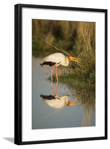 Botswana, Moremi Game Reserve, Yellow Billed Stork Captures Small Frog-Paul Souders-Framed Art Print