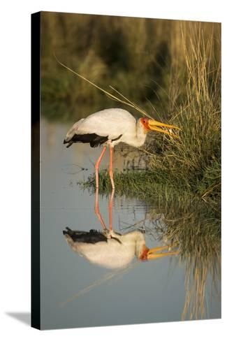 Botswana, Moremi Game Reserve, Yellow Billed Stork Captures Small Frog-Paul Souders-Stretched Canvas Print