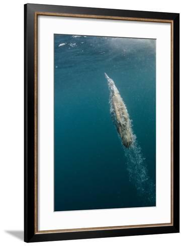 Cape Gannet Feeding, Sardine Run, Eastern Cape, South Africa-Pete Oxford-Framed Art Print