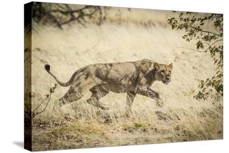 Namibia, Damaraland, Palwag Concession. Stalking Lion Stalking-Wendy Kaveney-Stretched Canvas Print