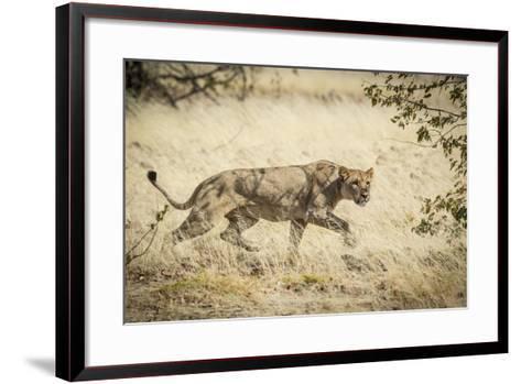 Namibia, Damaraland, Palwag Concession. Stalking Lion Stalking-Wendy Kaveney-Framed Art Print