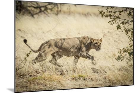 Namibia, Damaraland, Palwag Concession. Stalking Lion Stalking-Wendy Kaveney-Mounted Photographic Print