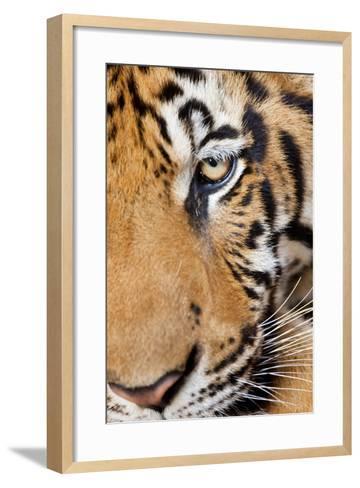 Portrait, Indochinese Tiger or Corbett's Tiger, Thailand-Peter Adams-Framed Art Print