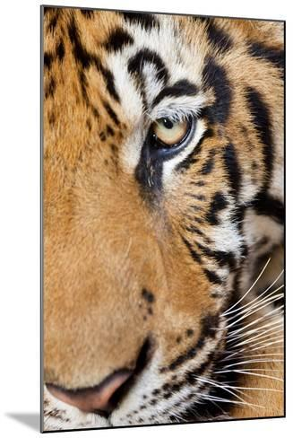 Portrait, Indochinese Tiger or Corbett's Tiger, Thailand-Peter Adams-Mounted Photographic Print
