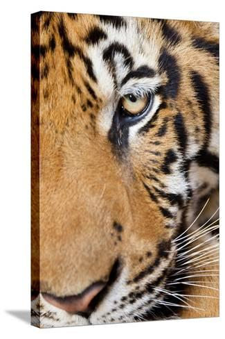 Portrait, Indochinese Tiger or Corbett's Tiger, Thailand-Peter Adams-Stretched Canvas Print