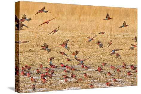 Okavango Delta, Shinde Camp, Botswana, Africa. Little Bee-Eaters-Janet Muir-Stretched Canvas Print