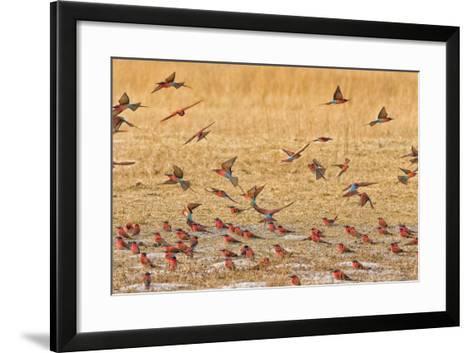 Okavango Delta, Shinde Camp, Botswana, Africa. Little Bee-Eaters-Janet Muir-Framed Art Print