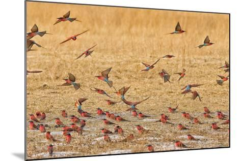 Okavango Delta, Shinde Camp, Botswana, Africa. Little Bee-Eaters-Janet Muir-Mounted Photographic Print