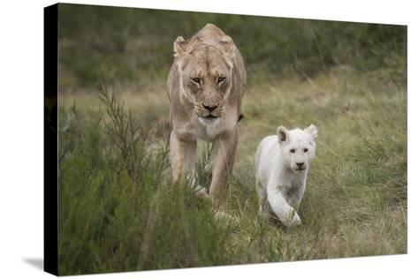 White Lion, Inkwenkwezi Game Reserve, Eastern Cape, South Africa-Pete Oxford-Stretched Canvas Print