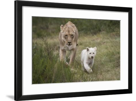 White Lion, Inkwenkwezi Game Reserve, Eastern Cape, South Africa-Pete Oxford-Framed Art Print