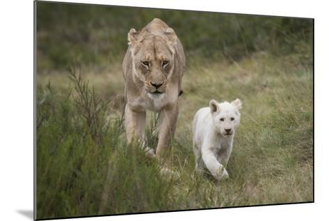 White Lion, Inkwenkwezi Game Reserve, Eastern Cape, South Africa-Pete Oxford-Mounted Photographic Print