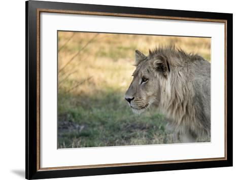 Male Lion Standing Intense Look-Close Up-Sheila Haddad-Framed Art Print