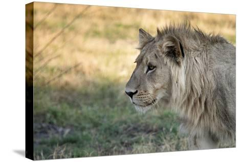 Male Lion Standing Intense Look-Close Up-Sheila Haddad-Stretched Canvas Print