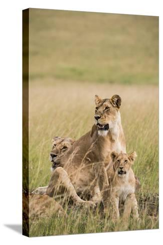 Kenya, Maasai Mara, Mara Triangle, Mara River Basin, Lioness with Cubs-Alison Jones-Stretched Canvas Print