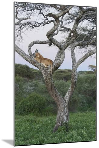 Lionness Lies in an Acacia, Ngorongoro Conservation Area, Tanzania-James Heupel-Mounted Photographic Print