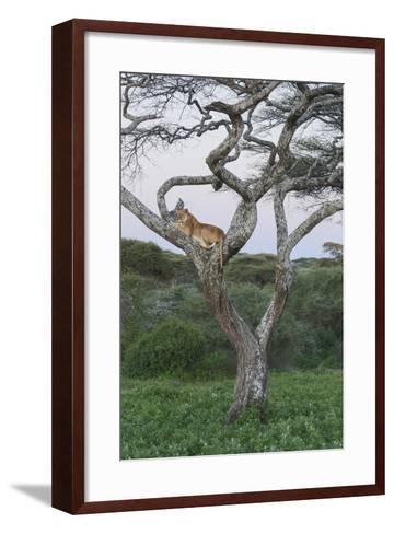 Lionness Lies in an Acacia, Ngorongoro Conservation Area, Tanzania-James Heupel-Framed Art Print