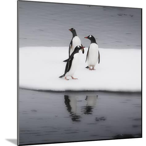Antarctica. Gentoo Penguins Standing on Sea Ice with Reflection-Janet Muir-Mounted Photographic Print