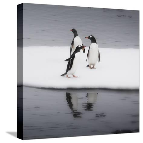 Antarctica. Gentoo Penguins Standing on Sea Ice with Reflection-Janet Muir-Stretched Canvas Print